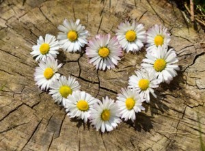 Heart shape made from daisies on wooden stump