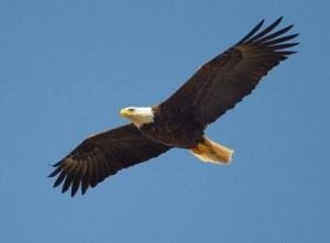 Eagle flying across blue sky